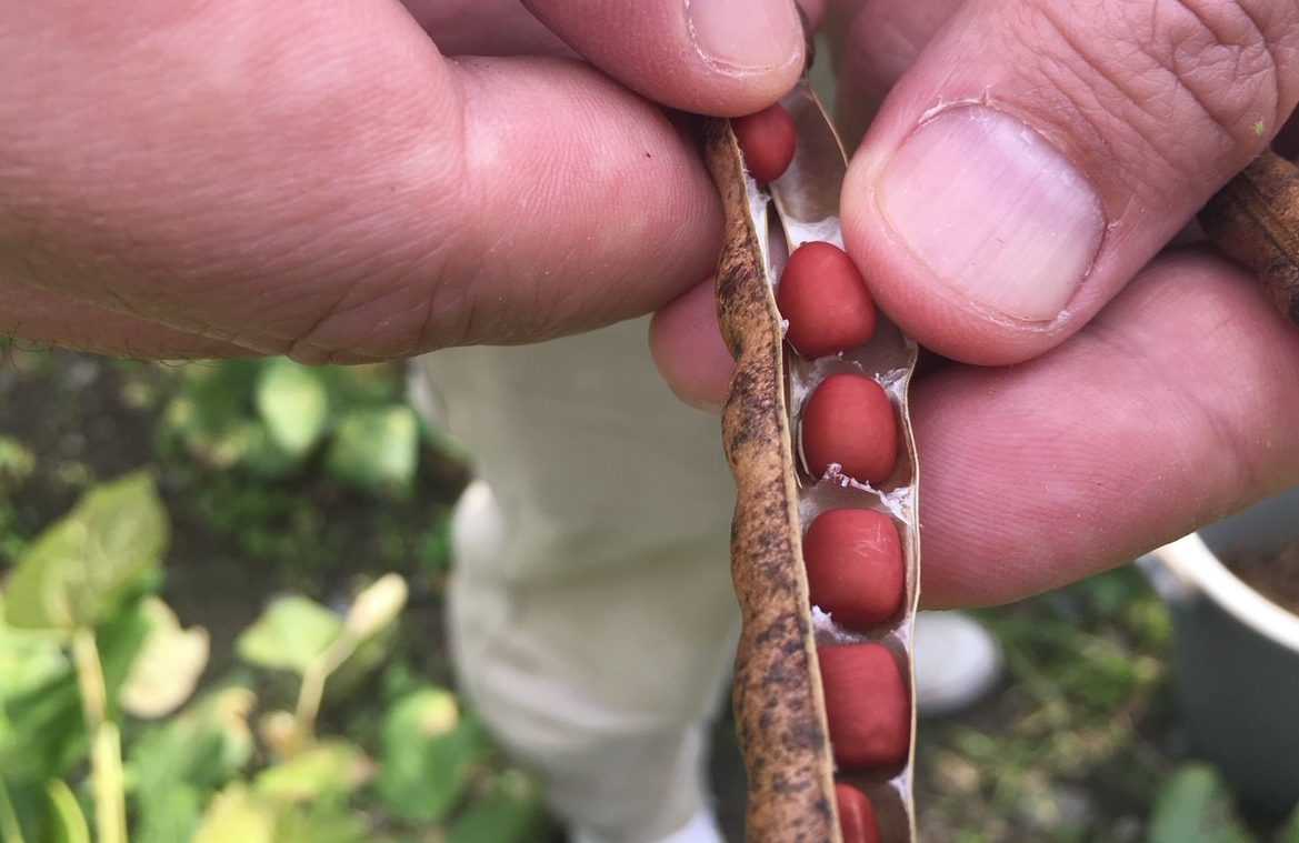 小豆収穫4m